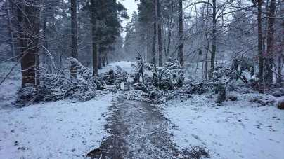 Fallen tree in the snow